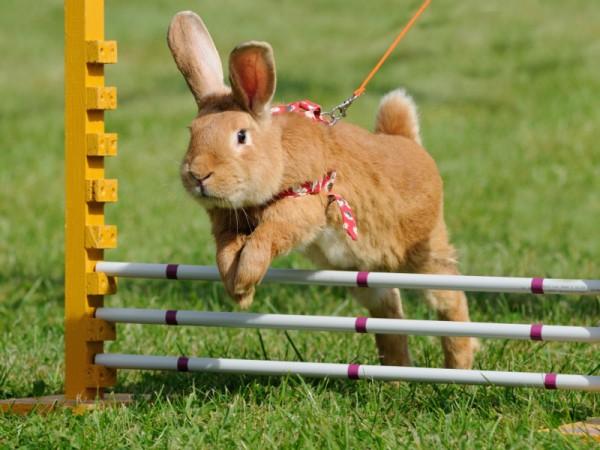 Kaninchen-springt-ueber-Hindernis-anetapics-Shutterstock-85786123