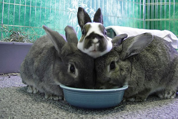 rabbit-communal-living